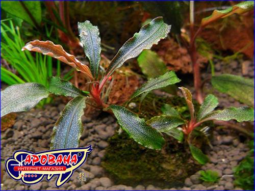 Буцефаландра (Bucephalandra sp. Kedagang).