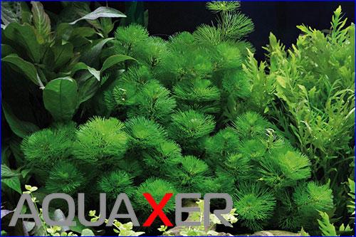 Кабомба зеленая (Cabomba green).