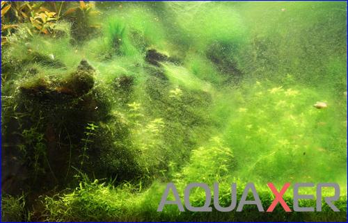 Нитчатые водоросли, Сайдекс.