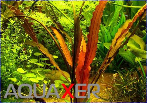 Эхинодорус Джани (Echinodorus Jani).