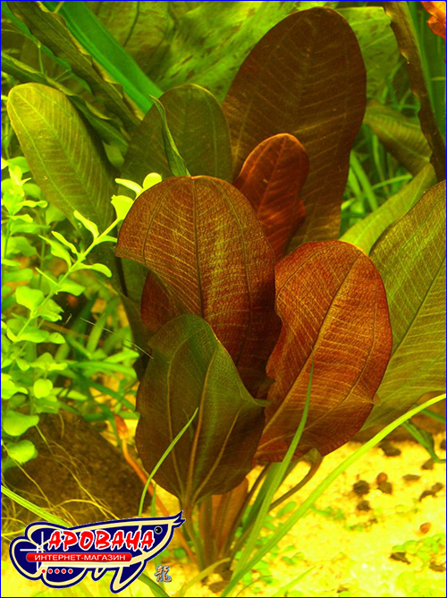 Эхинодорус кляйнер бер (Echinodorus kleiner baer).
