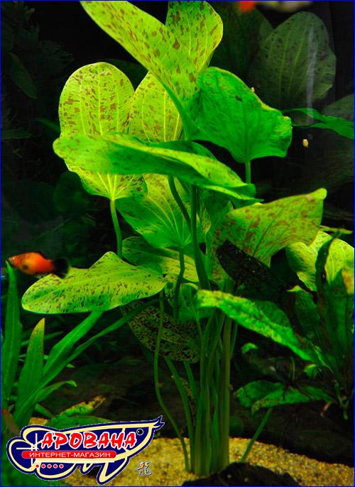 Эхинодорус оцелот зеленый (Echinodorus ozelot green).