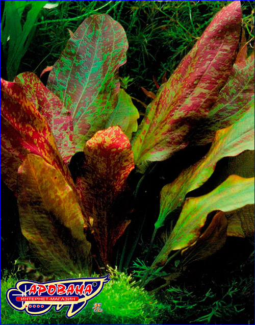 Эхинодорус красное пламя (Echinodorus ozelot Red Flame).