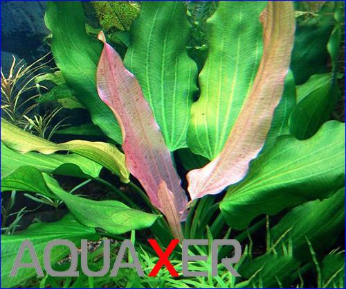 Эхинодорус триколор (Echinodorus tricolor).