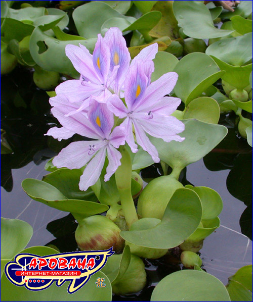 Eichornia crassipes (Гиацинт водный).