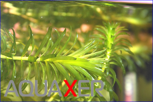 Элодея канадская (Elodea canadensis).