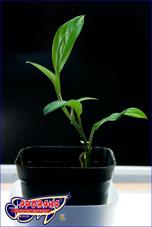 Epipremnum pulchrum (Эпипремнум красивый).
