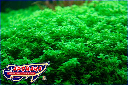 Hemianthus callitrichoides Cuba- очень маленькое и оригинальное аквариумное растение-ковер.