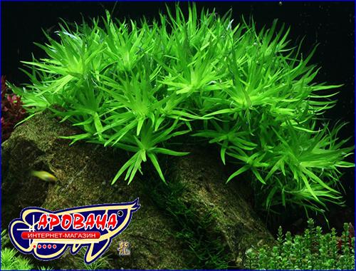 Гетерантера остролистная (Heteranthera zosterifolia).