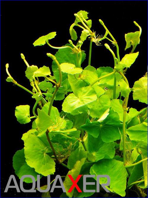Гидрокотила белоголовая (Hydrocotyle leucocephala).