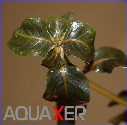 Гигрофила иволистная (Hygrophila angustifolia Brown).