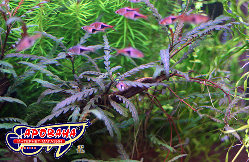 Hygrophila pinnatifida (Гигрофила пиннатефида).
