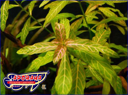 Гигрофила многосемянная (Hygrophila polysperma).
