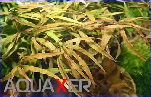 Гигрофила многосеменная цейлон (Hygrophila polysperma var. Ceylon).