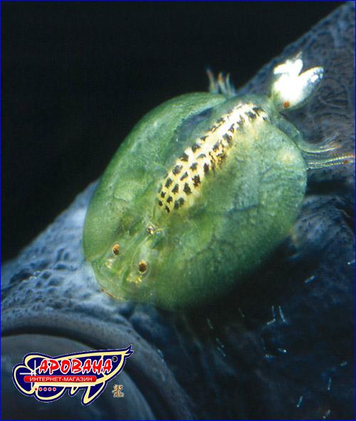 Препарат против ракообразных паразитов в садовых прудах.