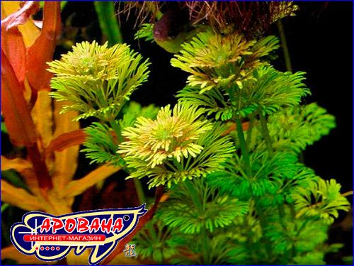Лимнофила сидячецветковая (Limnophila sessiliflora).