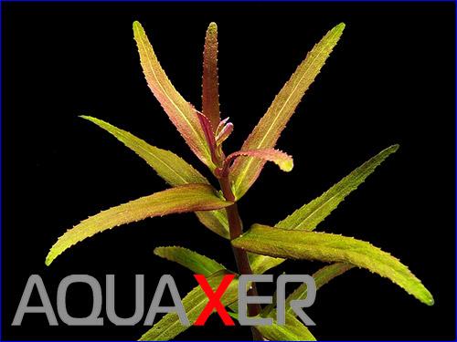 Аквариумное растение Limnophila sp. Belem.