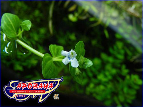 Линдерния круглолистная (Lindernia rotundifolia).