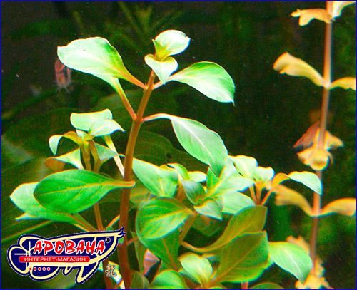 Людвигия овальная (Ludwigia ovalis).