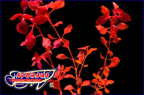 Людвигия супер Рэд (Ludwigia palustris super red).