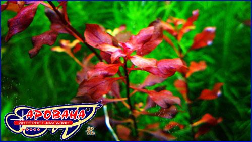 Людвигия супер ред (Ludwigia palustris super red).