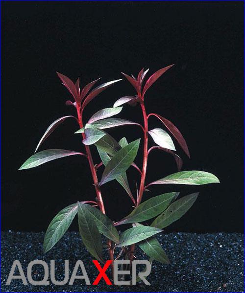 Людвигия перуанская (Ludwigia peruvian).