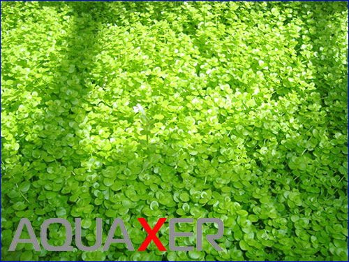 Micranthemum umbrosum (Микрантемум тенистый).