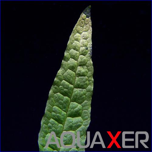 Микросориум филиппинский (Microsorum pteropus philippine).