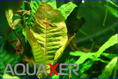 Папоротник таиландский красный (Microsorum pteropus red).