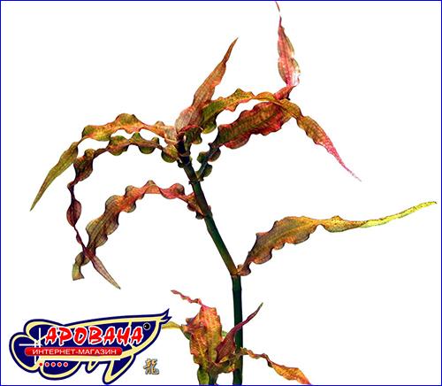 Аквариумное растение Murdannia sp. red.