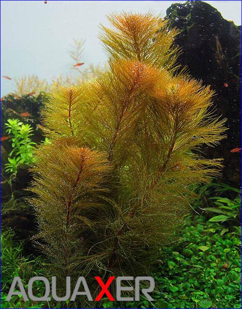 Перестолистник Рорайма (Myriophyllum sp. Roraima).