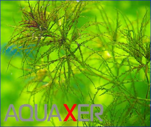 Najas Roraima - аквариумное растение.