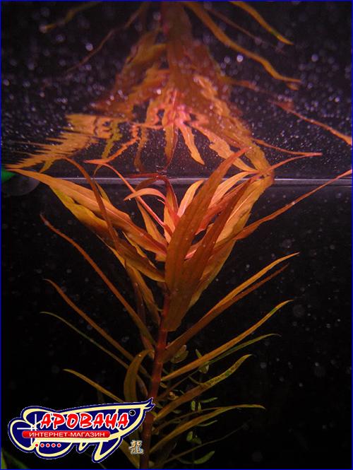 Незея толстостебельная (Nesaea crassicaulis).