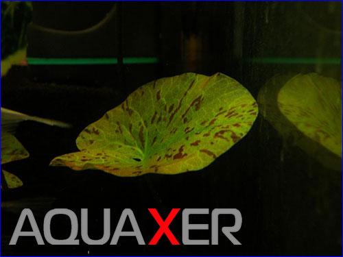 Нимфея зульфирея (Nymphaea sulfurea).