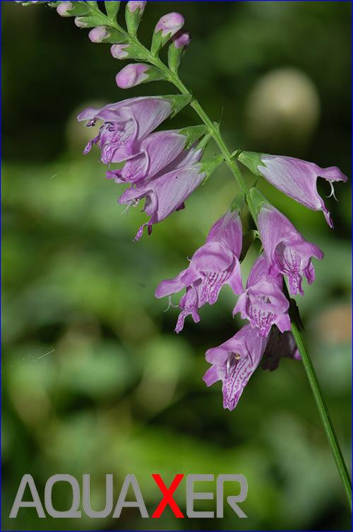 Физостегия пурпурная (physostegia purpurea).
