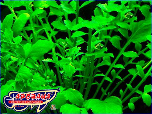 Аквариумное растение Rorippa aquatica.