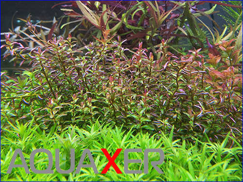 Rotala Macrandra mini type 2.