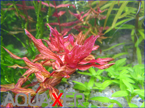 Ротала макрандра тигр (Rotala macrandra variegated).