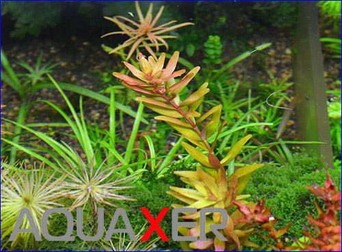 Ротала круглолистная (Rotala rotundifolia).
