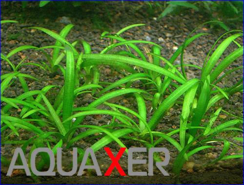 Стрелолист шиловидный (Sagittaria subulata).