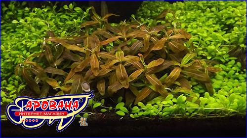 Стаурогин коричневый (Staurogyne sp. brown).