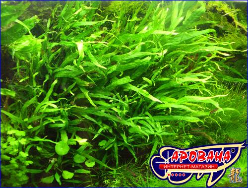 """Microsorum pteropus """"Narrow"""" - папоротник таиландский узколистный или Микросорум узколистный."""