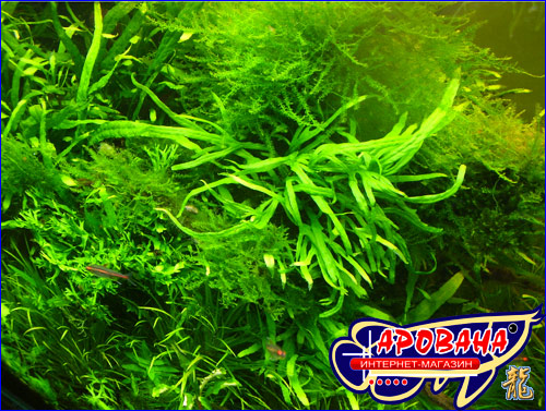 Microsorum sp. Trident - редкий вид папоротника для аквариума.