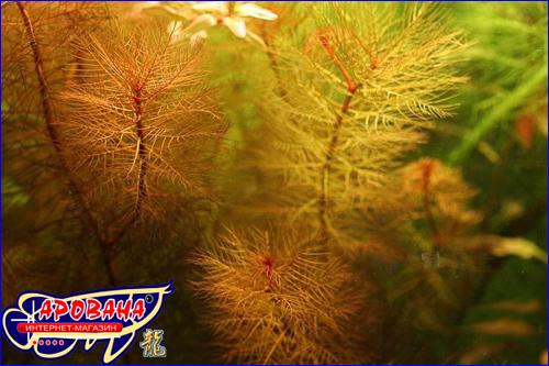 Myriophyllum tuberculatum (Перестолистник красный), - изящное и популярное аквариумное растение.