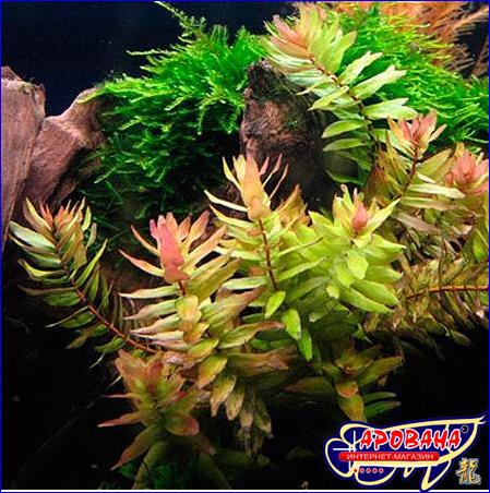 Rotala macrandra Narrow Leaf (Ротала макрандра узколистная), - интернет магазин аквариумных растений.
