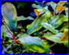 ����������� ��������, Bucephalandra sp. Shine Blue 2, aka Gigantic Shine Blue.