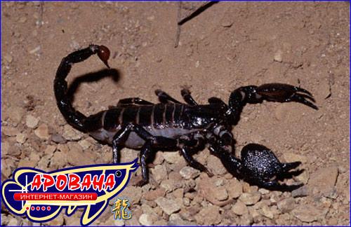 Pandinus imperator -  императорский  скорпион.