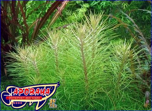 Pogostemon erectus, - аквариумное растение Погостемон  эректус.