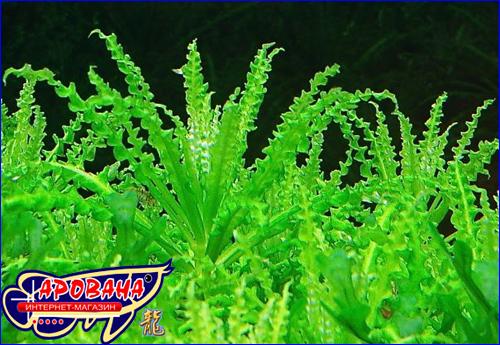 Pogostemon helferi (Погостемон хелфери) - водные растения для аквариума.