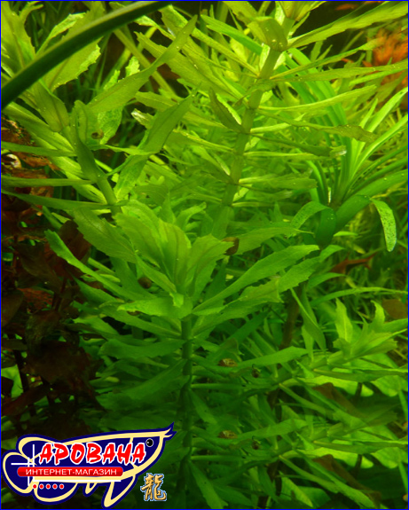 Pogostemon stellatus Narrow Leaf (Eusteralis stellata) - растение для аквариума.